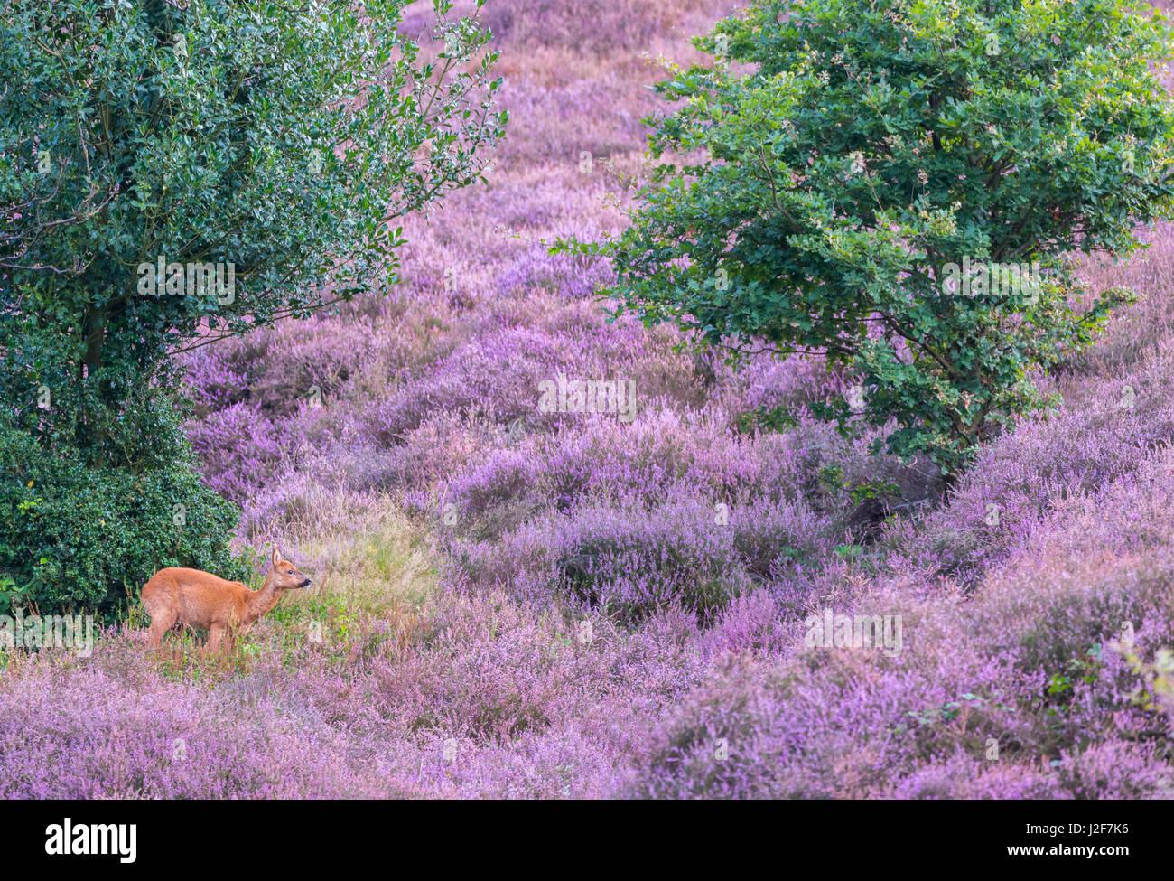 roe deer in flowering heathland Stock Photo