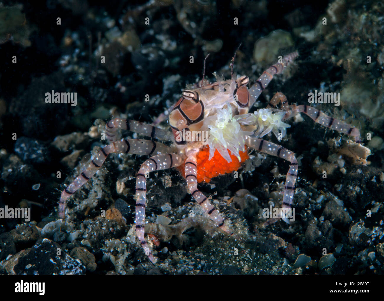 Boxer crab carrying a bright orange egg sack brandishes claws weaponized with stinging anemones. Ambon Bay, Indonesia. - Stock Image