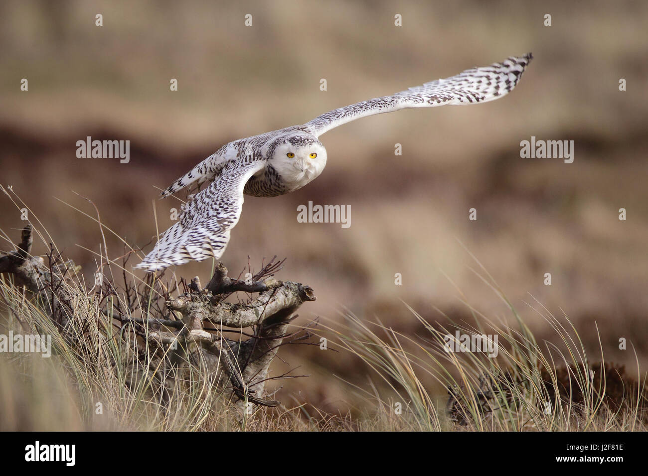Snowy-owl flying in the dunes of the island Vlieland. A rarity for the Netherlands ! - Stock Image