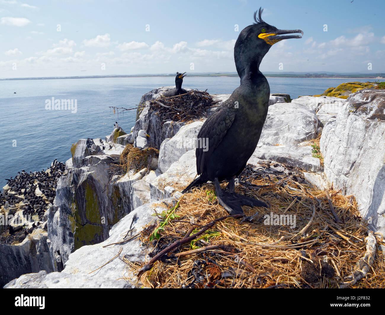 common shag, breeding. Phalacrocorax aristotelis, Farne Island, United Kingdom - Stock Image