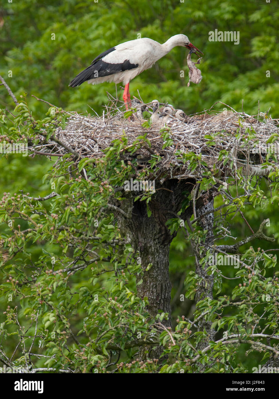 White Stork with two juveniles on nest. Parents tries eating its own dead chick. Europe - Stock Image