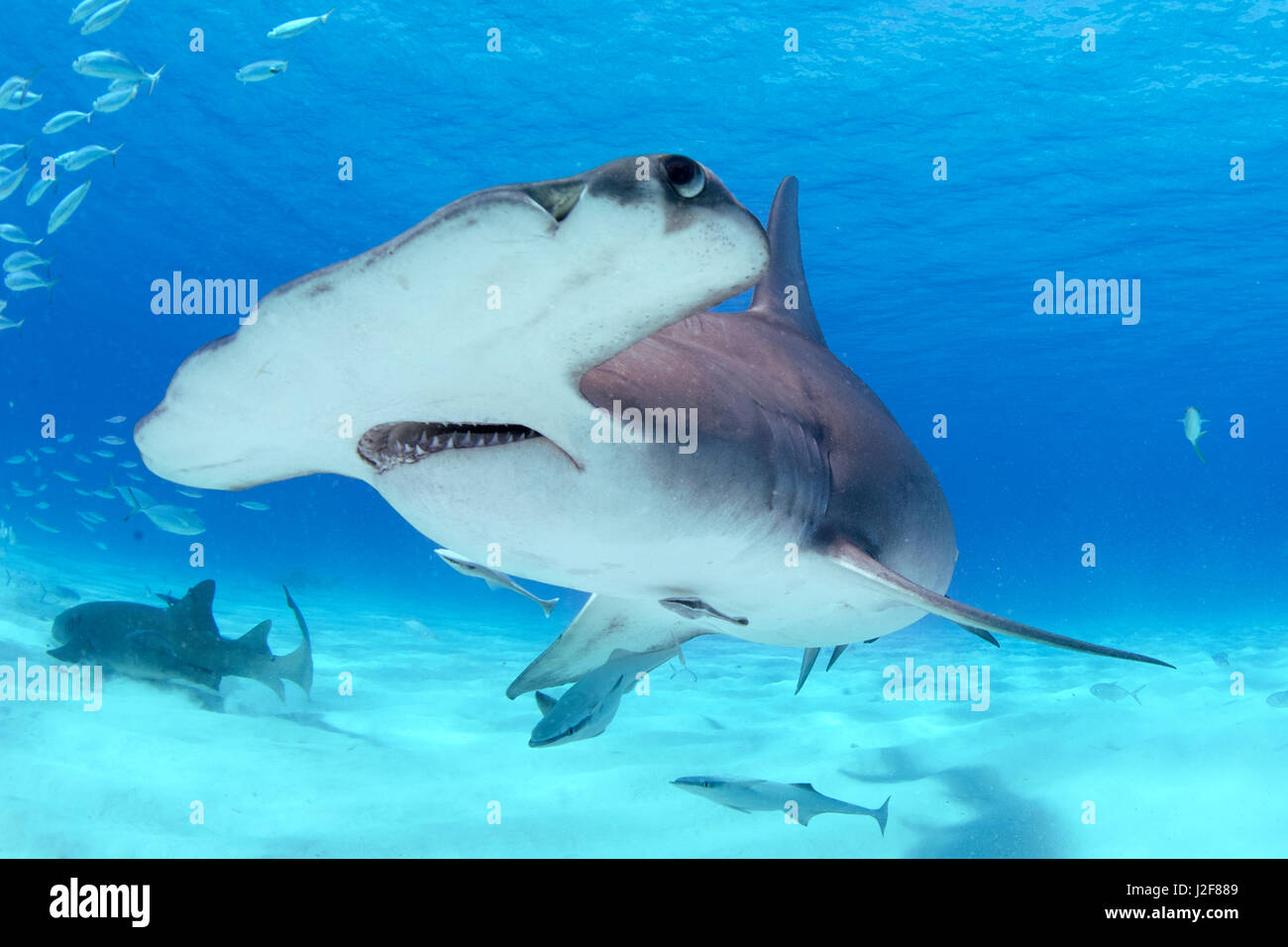 Great hammerhead shark, a shark species endangered by overfishing for its fins - Stock Image