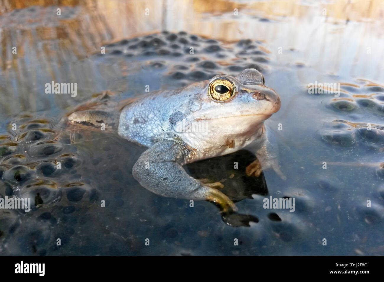 photo of blue male moor frog on frog spawn - Stock Image