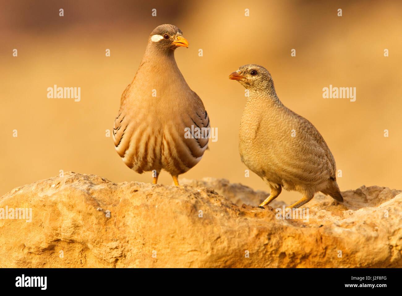 Pair Sand Partridges - Stock Image