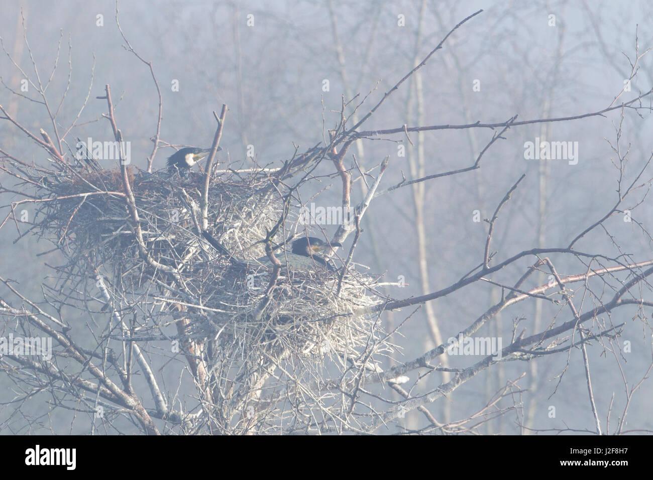breeding colony of great cormorants on a foggy morning - Stock Image