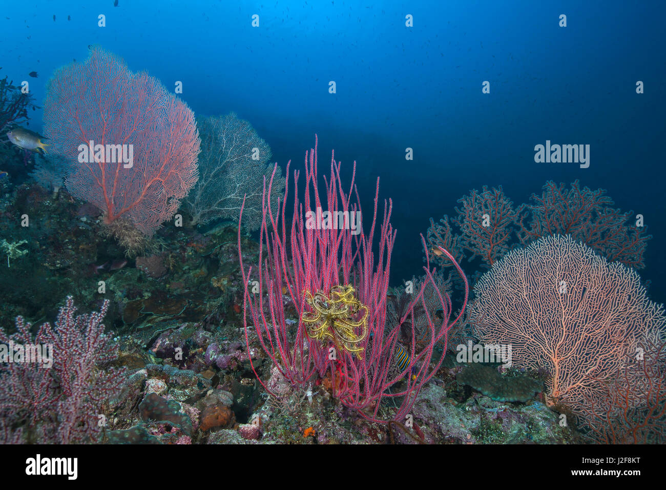 Coral reef populated by a variety of sea fans in bright colors. Raja Ampat, Indonesia. - Stock Image