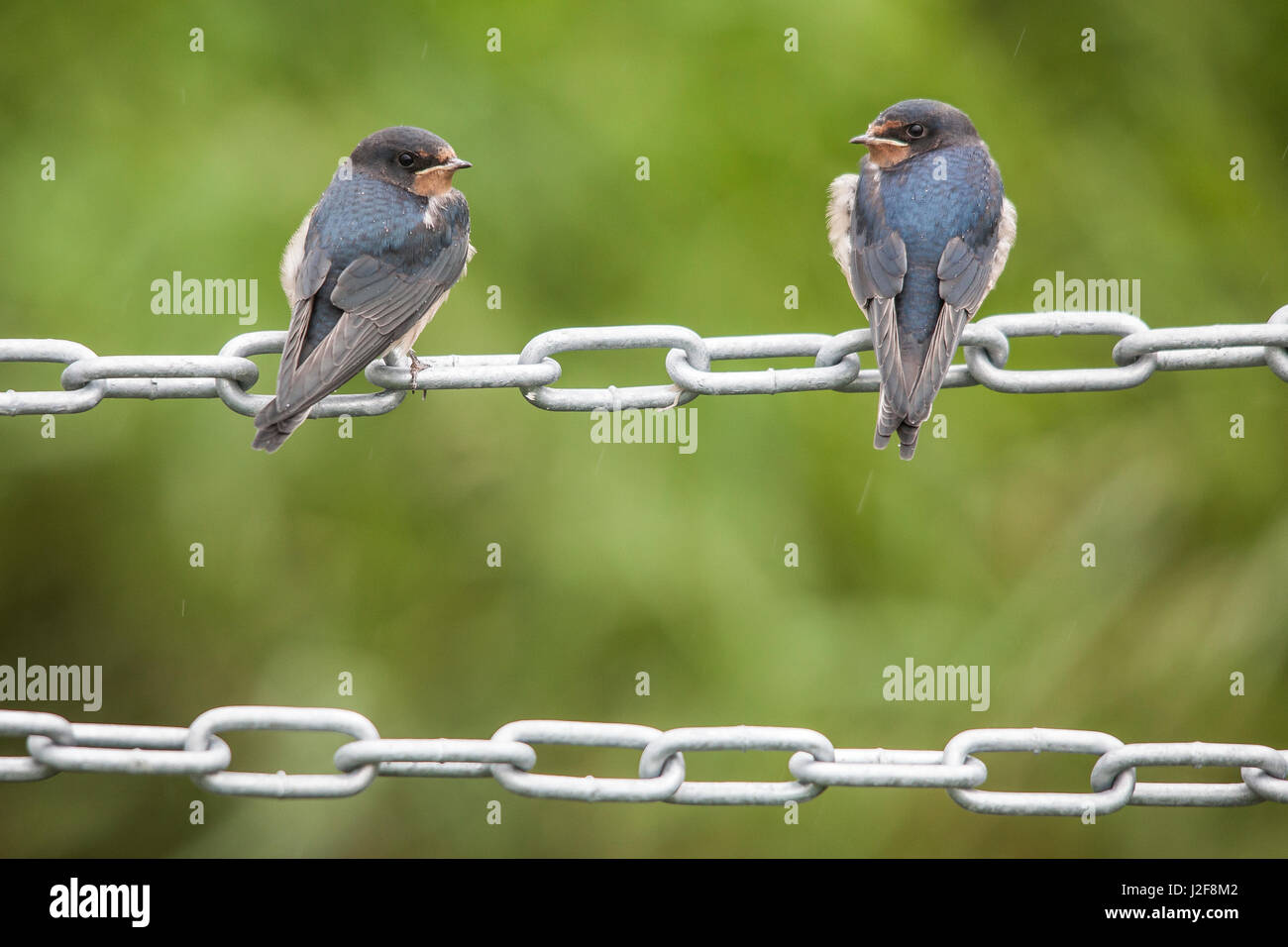 Backview of two juvenile Barn Swallows (Hirundo rustica) sitting on a chain - Stock Image