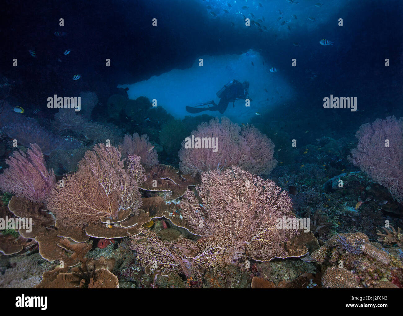 Colorful sea fans in the foreground frame the silhouette of a scuba diver in the window of an undersea wall. Raja - Stock Image