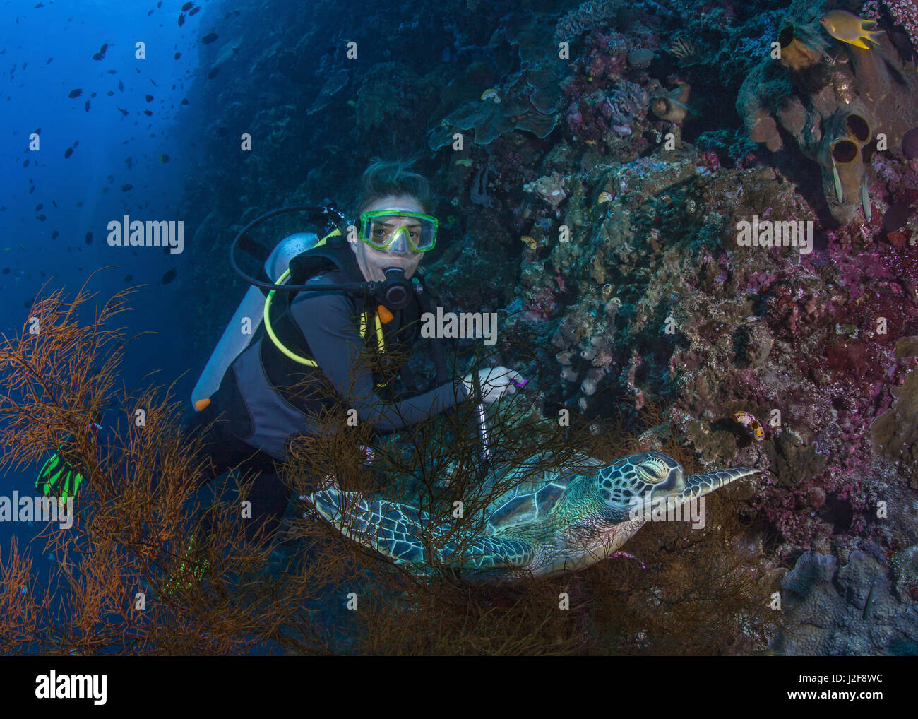 Female scuba diver gets a close up look at hawksbill turtle on resting in black coral tree on wall reef wall. Bunaken - Stock Image