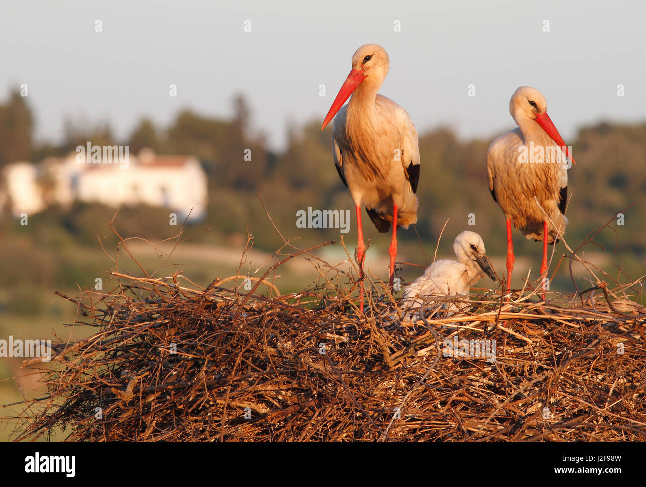 A pair of white storks on a nest with a young chick Stock Photo