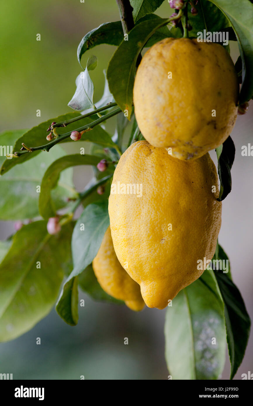 The lemons of the Amalfi coast have a protected designation of origin. They grow ubiquitous on the terrasses. - Stock Image