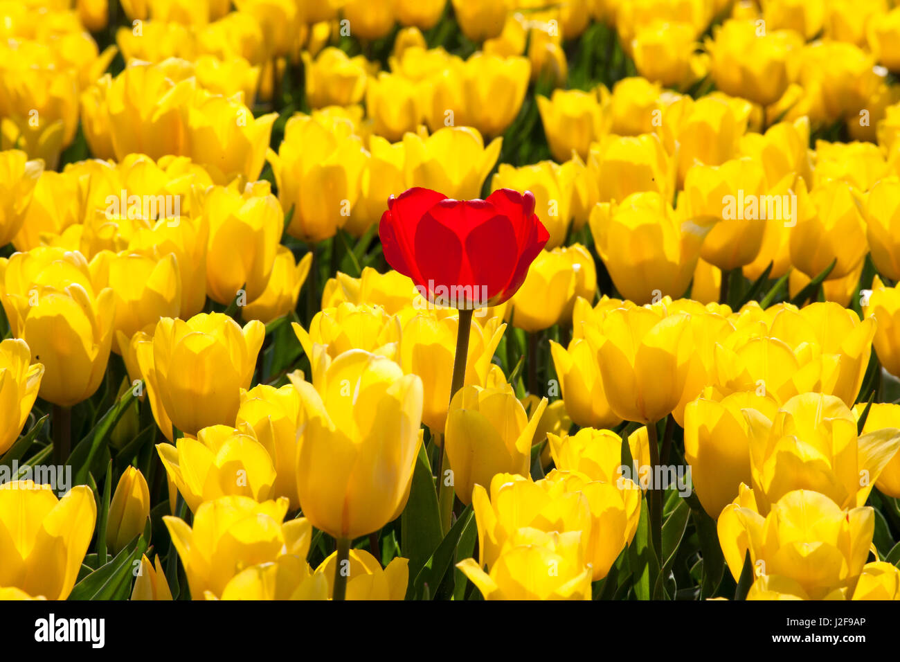 field of tulips in the Northeast polder part of Flevoland as a field crop for cultivation with a bulb of a different - Stock Image