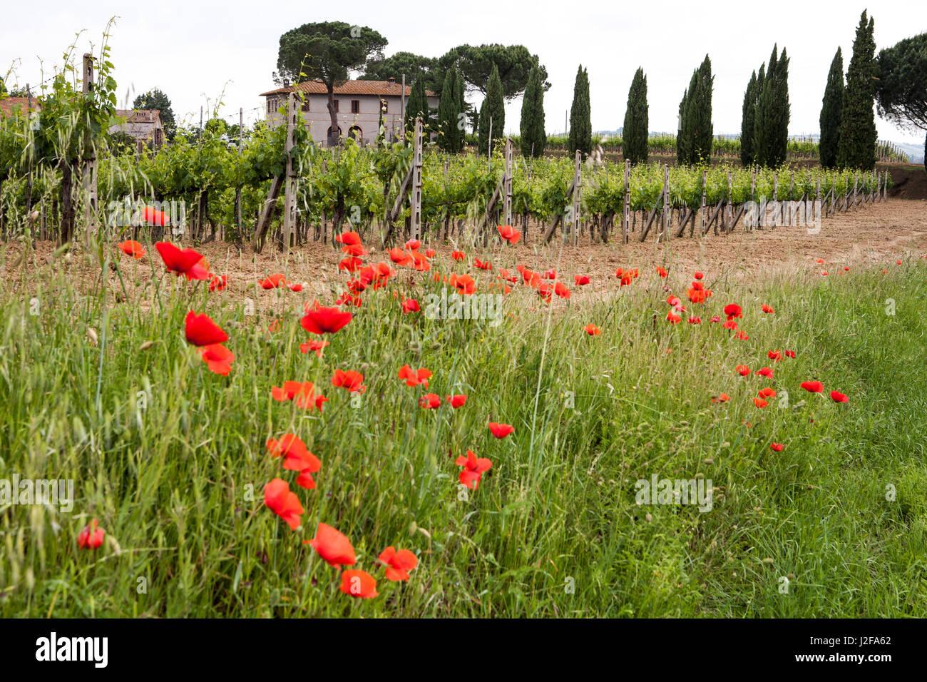 Tuscany, Italy. Red poppy - Stock Image