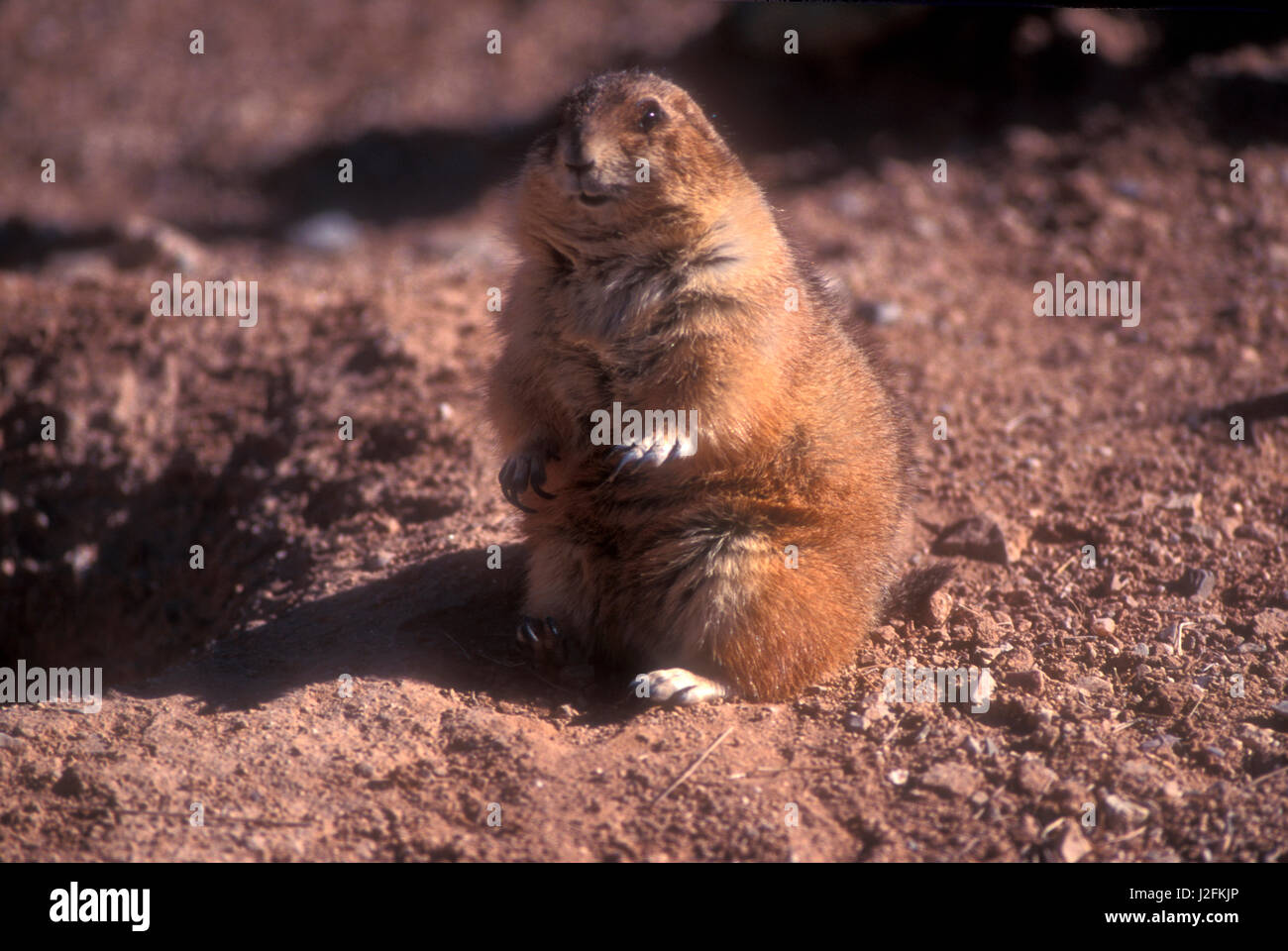 A chubby prairie dog sitting looking at camera in late afternoon light - Stock Image