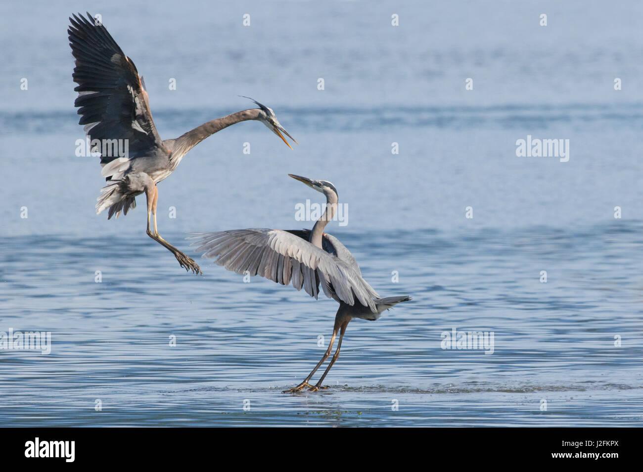 Great Blue Herons, skirmish - Stock Image