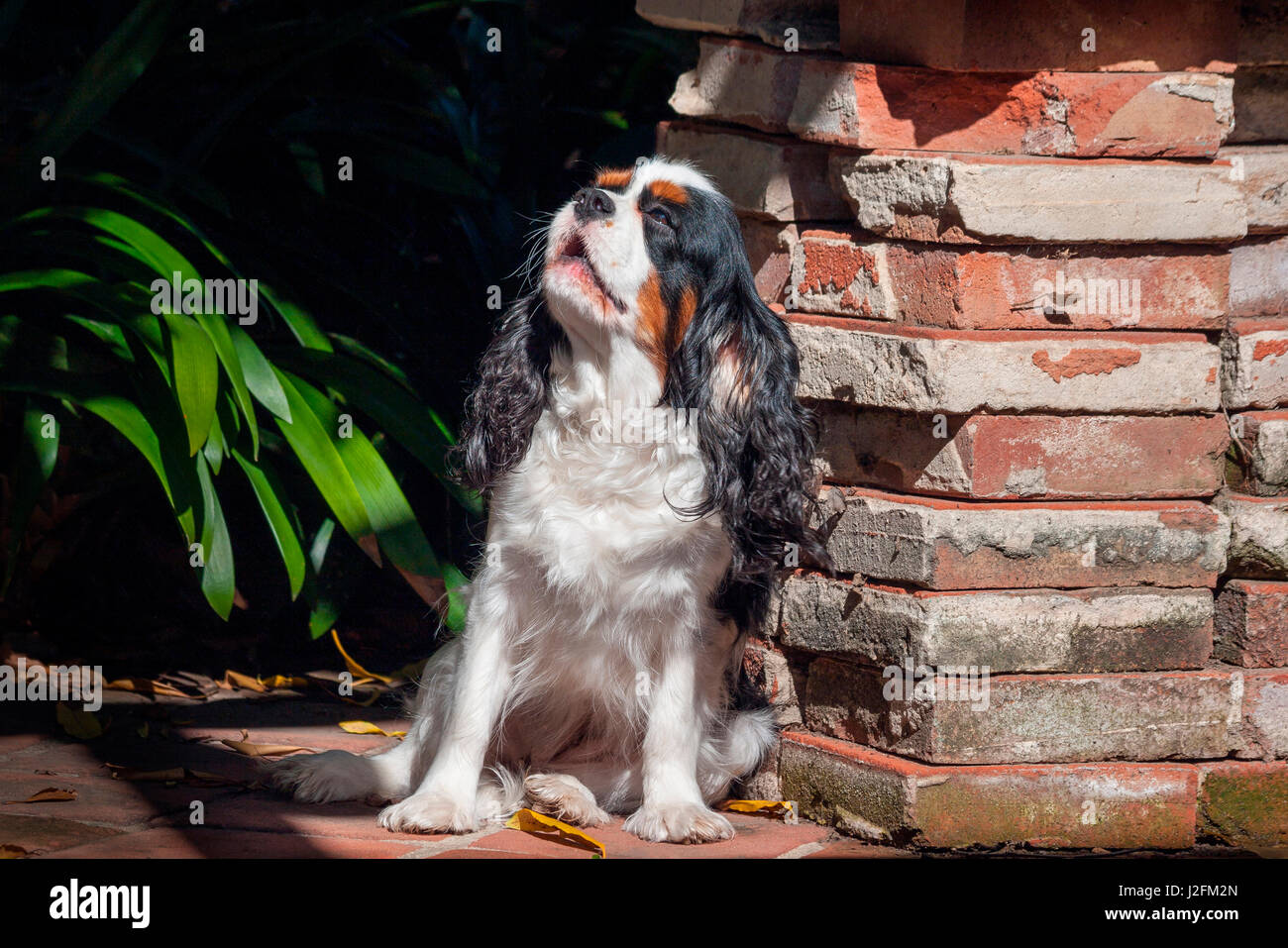 Cavalier King Charles Spaniel puppy - Stock Image