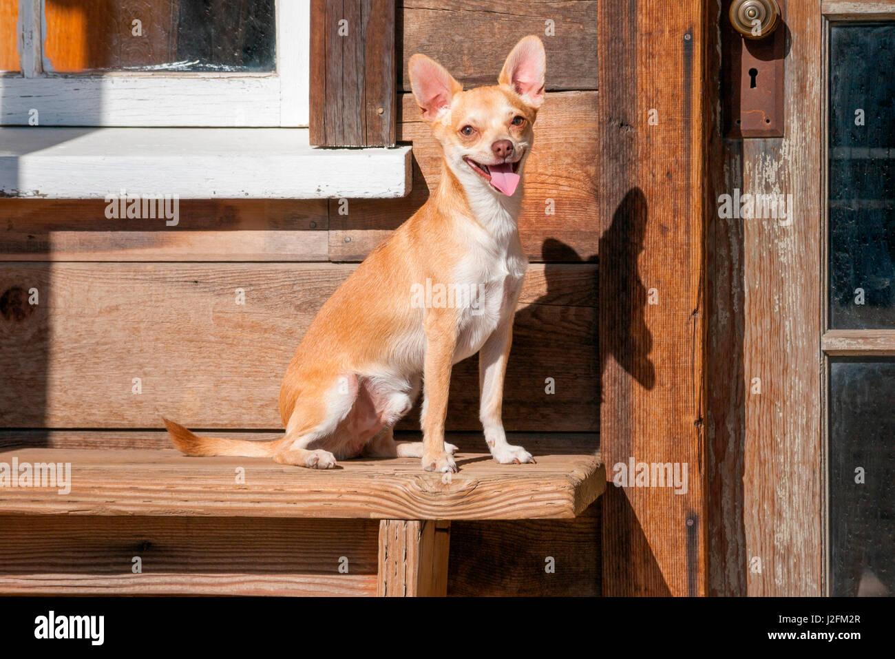Chihuahua looking - Stock Image
