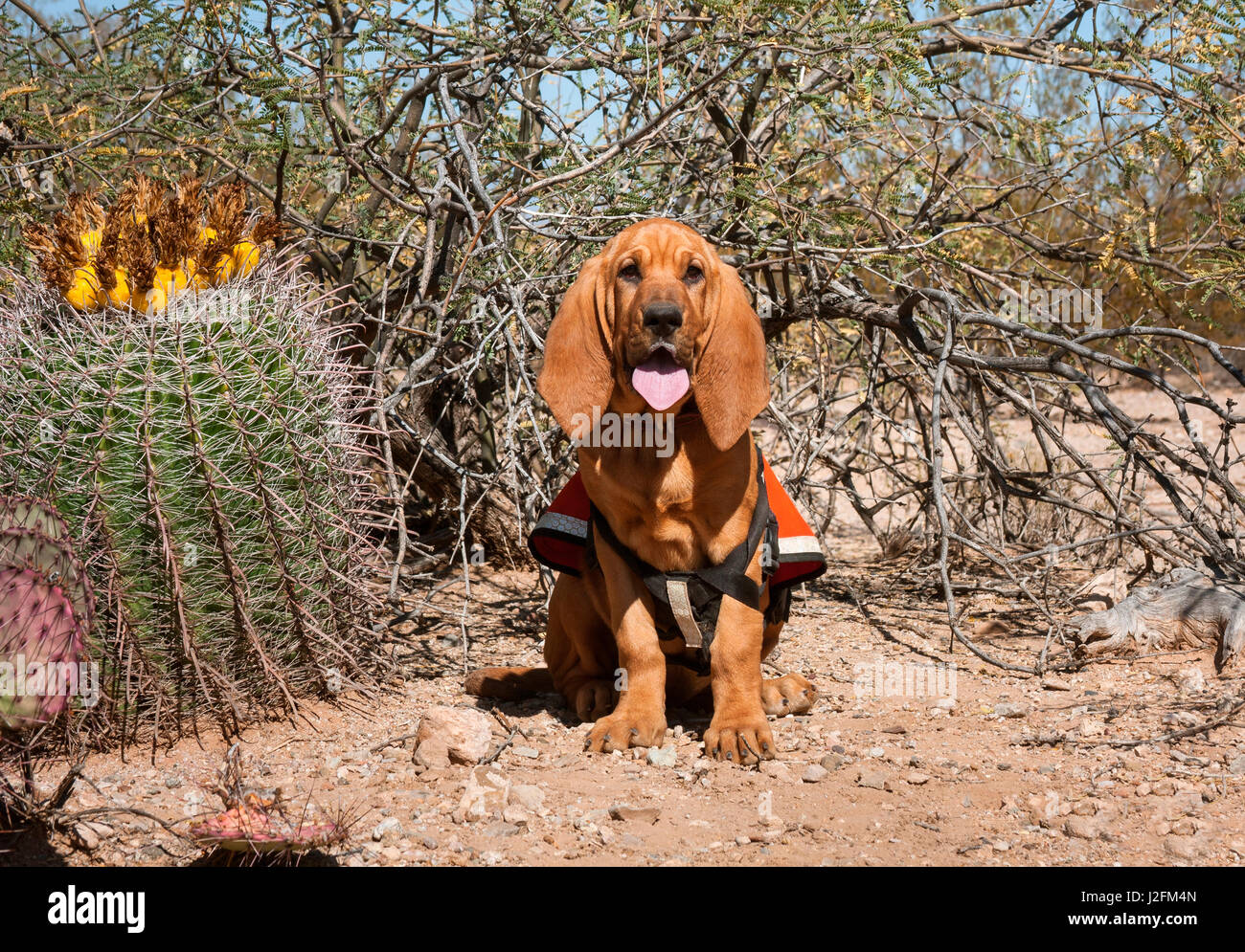 how to train a bloodhound for search and rescue