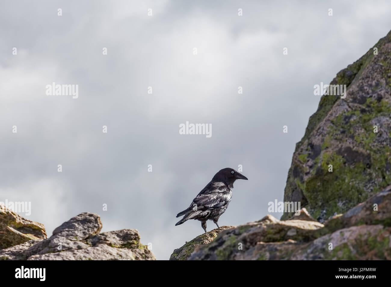 Australian Raven - portrait with copy space - Stock Image