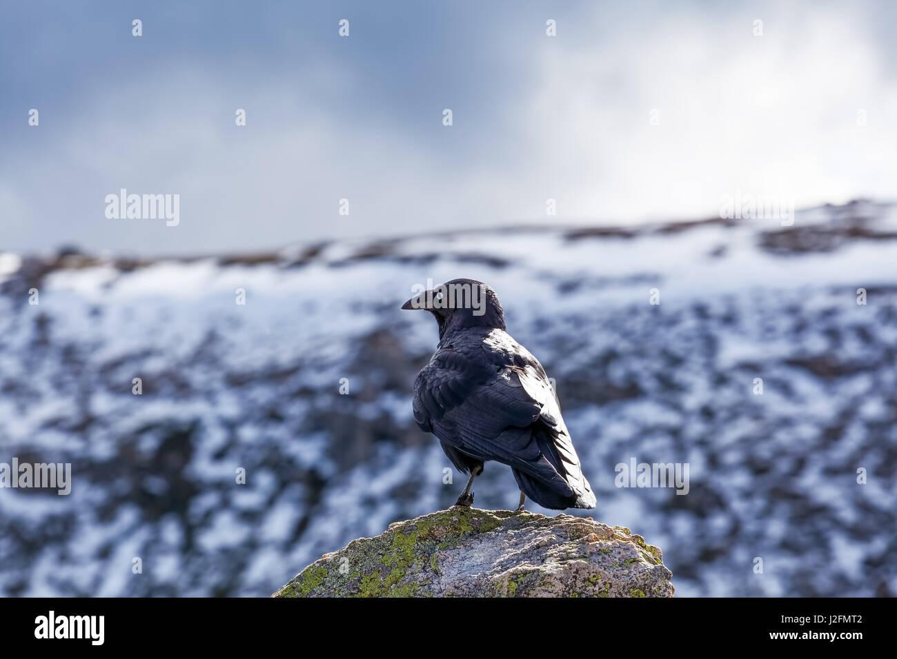 Portrait of Australian Raven gazing at snowy mountains - Stock Image