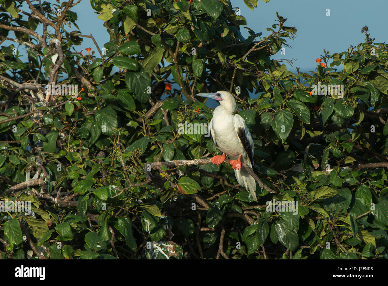 Red-footed Booby (Sula sula) white morphin Ziricote trees (Cordia dodecandra), Half Moon Caye colony, Lighthouse - Stock Image