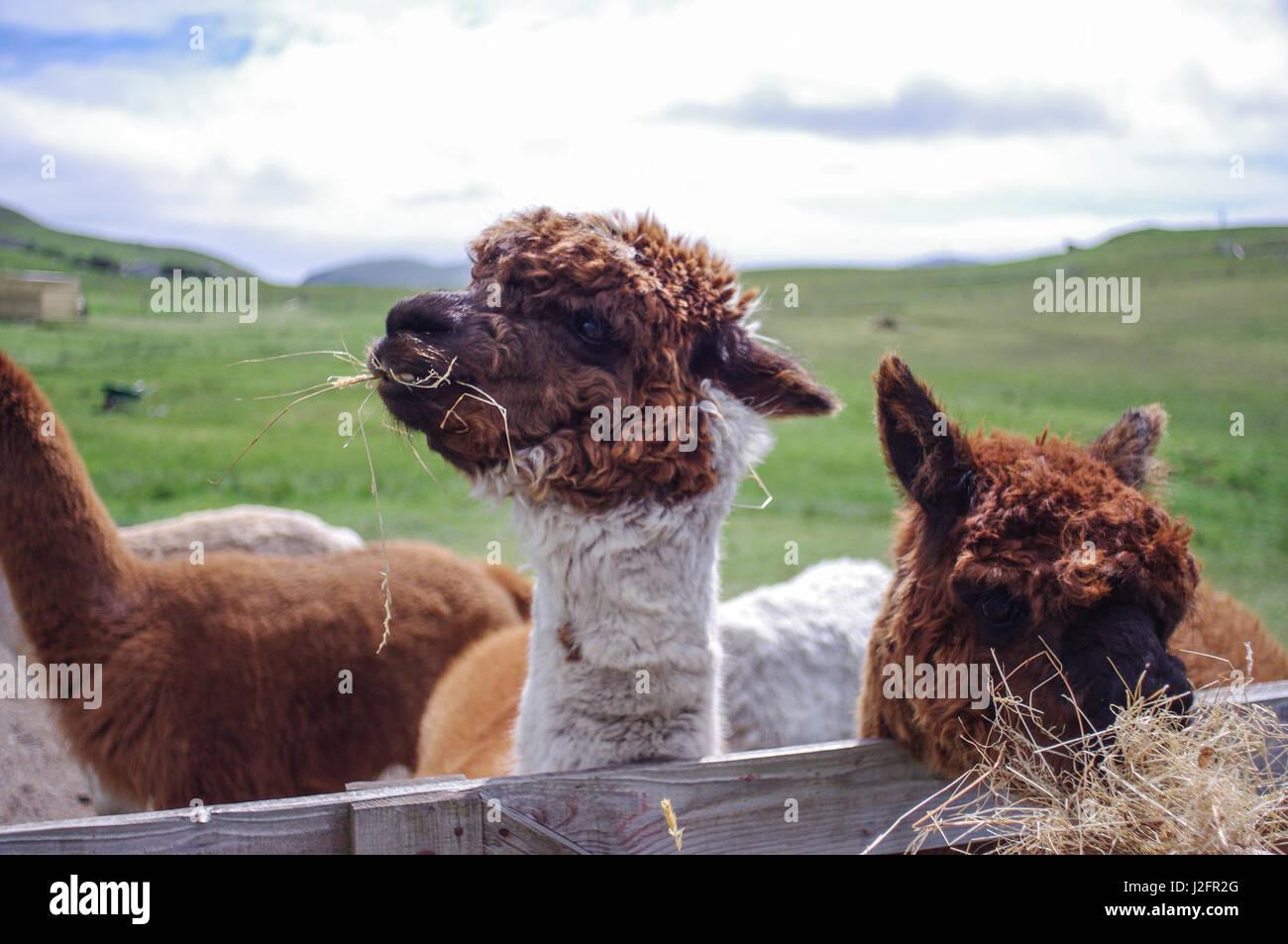 Llamas feeding on a remote farm in Shetland, SCotland. Llama cheese is mad from llama milk. These llamas seem happy. - Stock Image