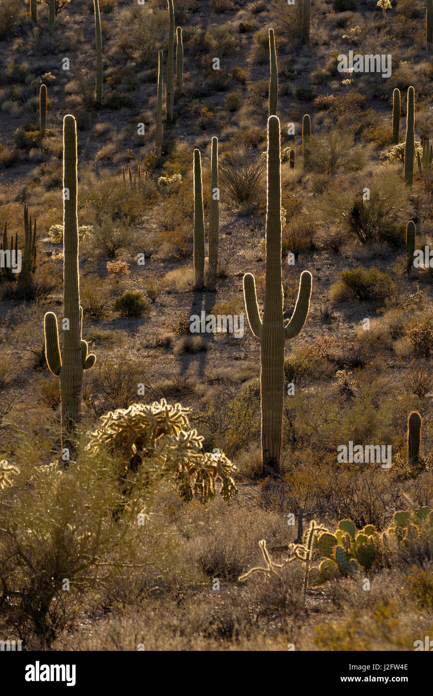 USA, Arizona, Organ Pipe Cactus National Monument. Back lit Saguaro Cactus (Carnegiea gigantean) and Chain Fruit - Stock Image