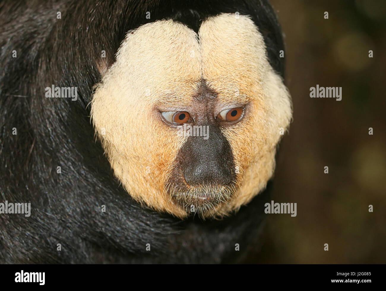 Mature Male South American white faced saki monkey (Pithecia pithecia) - Stock Image