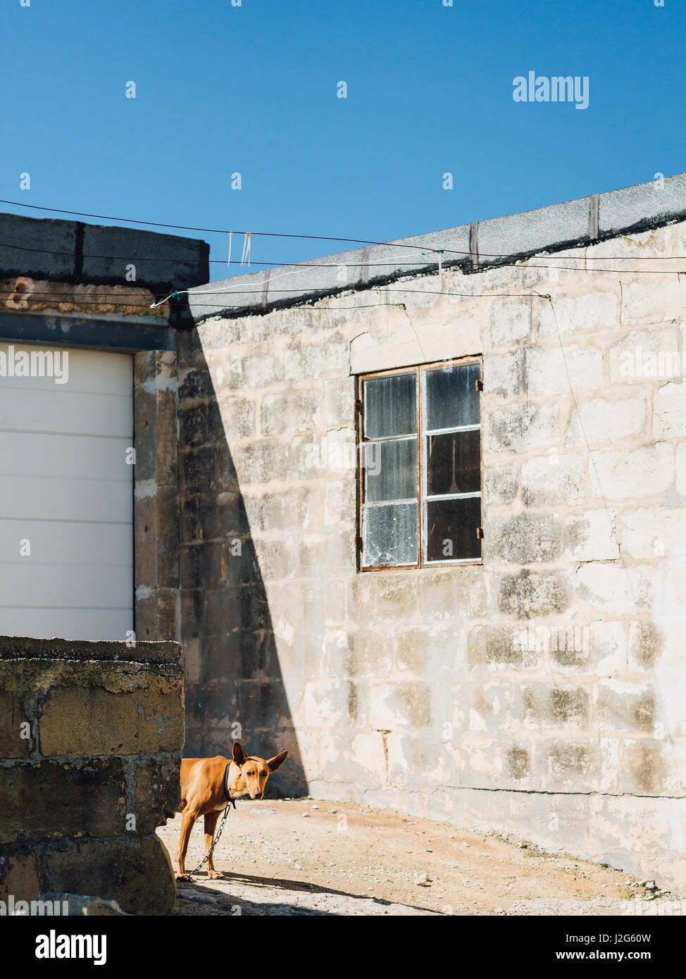 Bahrija, Malta: A timid chained dog (Pharaoh hound) peeks out from behind a low wall in the countryside just outside Stock Photo