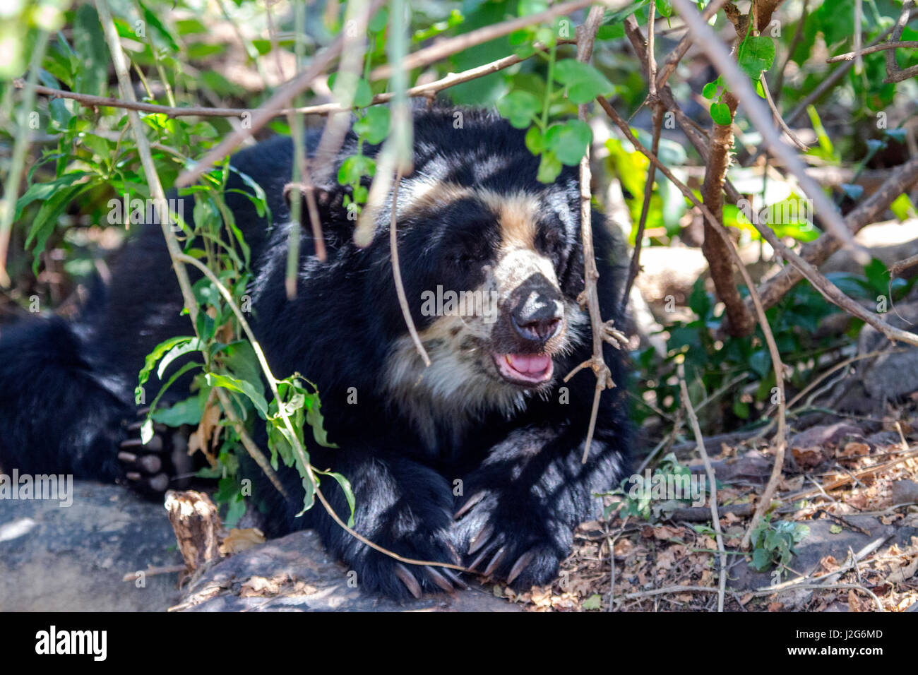 The black spectacled bear is the only species of bear found in South America. Stock Photo