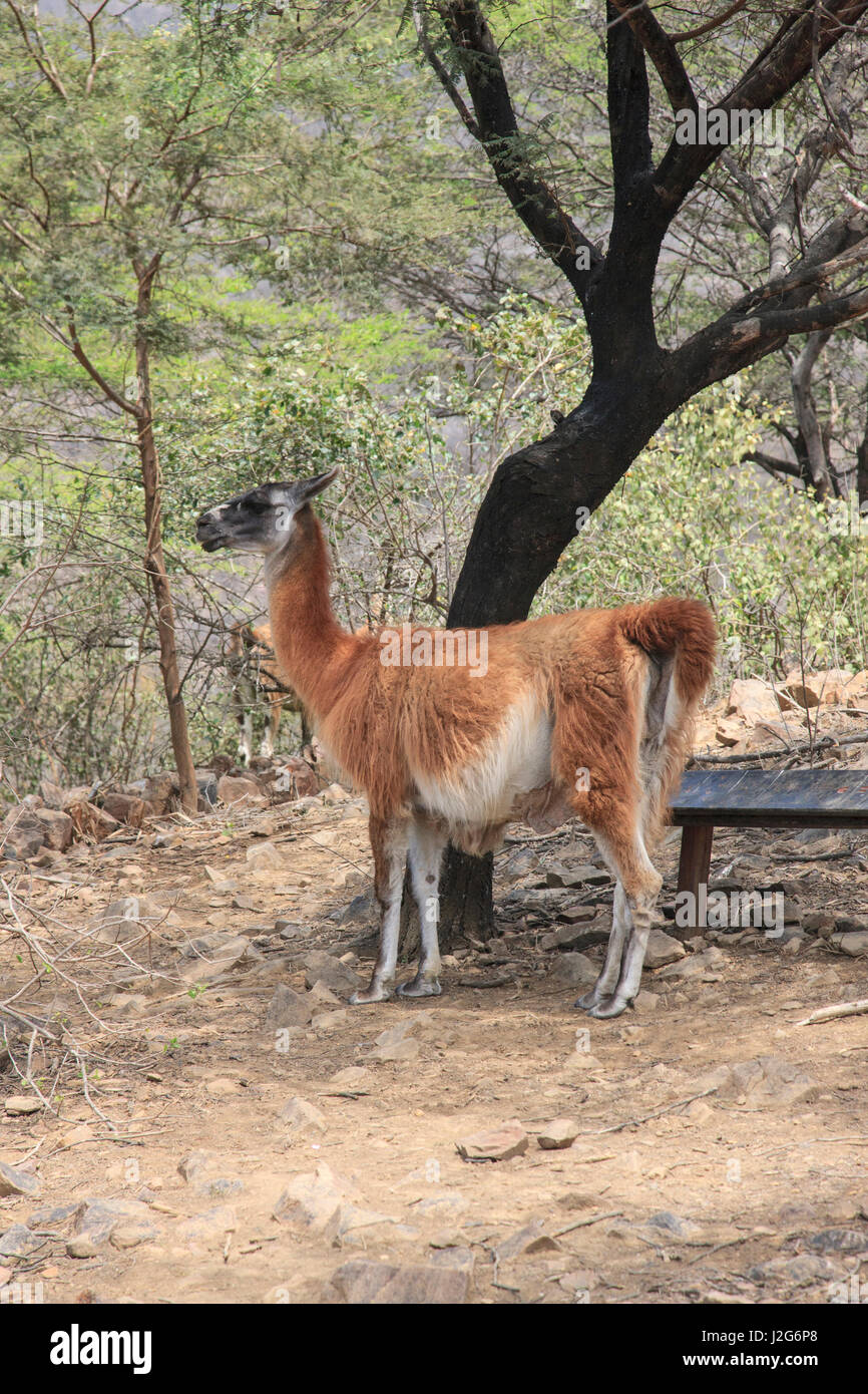The guanaco, a native of South America, is one of the endangered species found in the community owned and managed Stock Photo