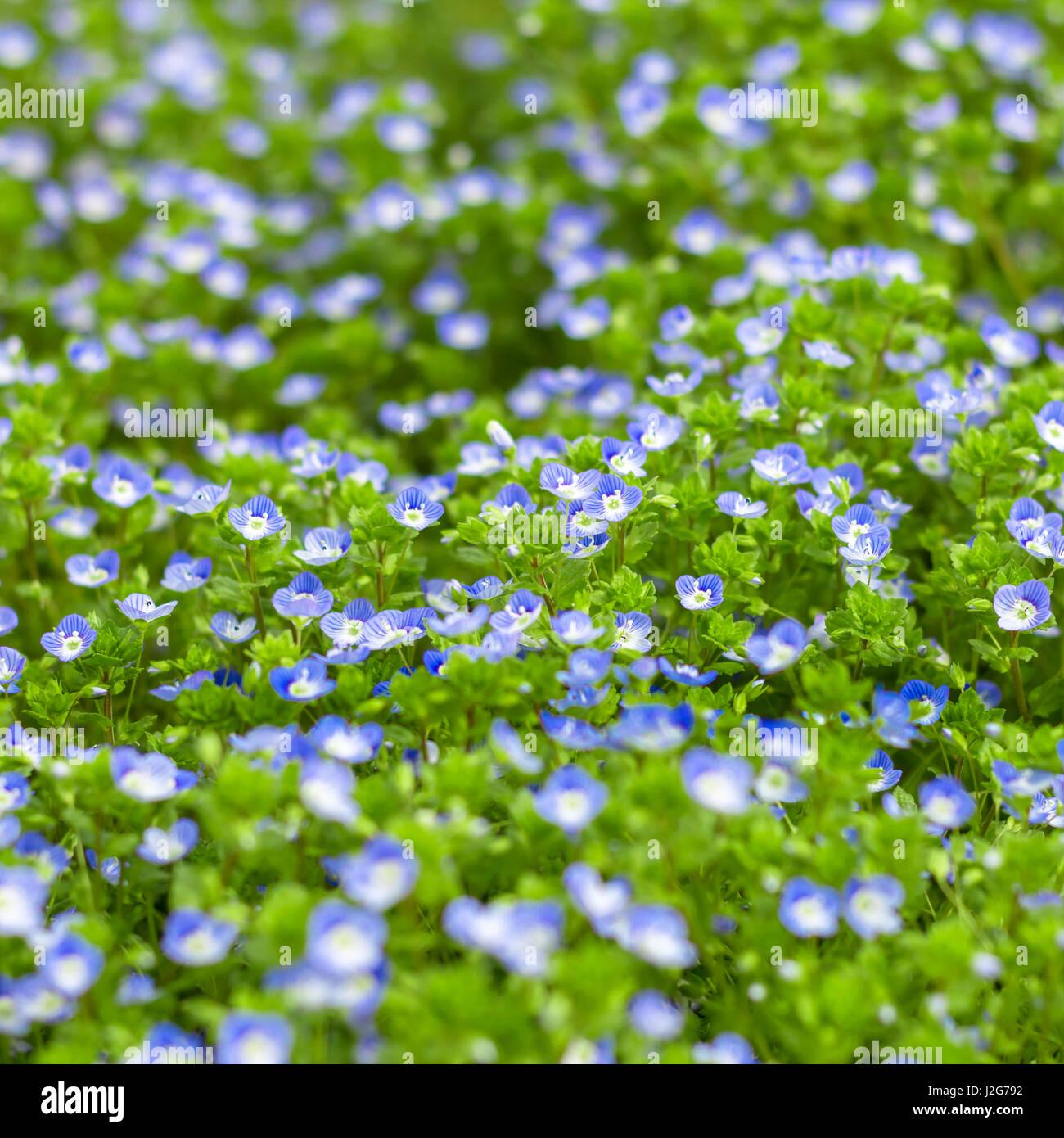 Blue Small Wildflowers Fresh Small Light Blue Flowers Stock Photo