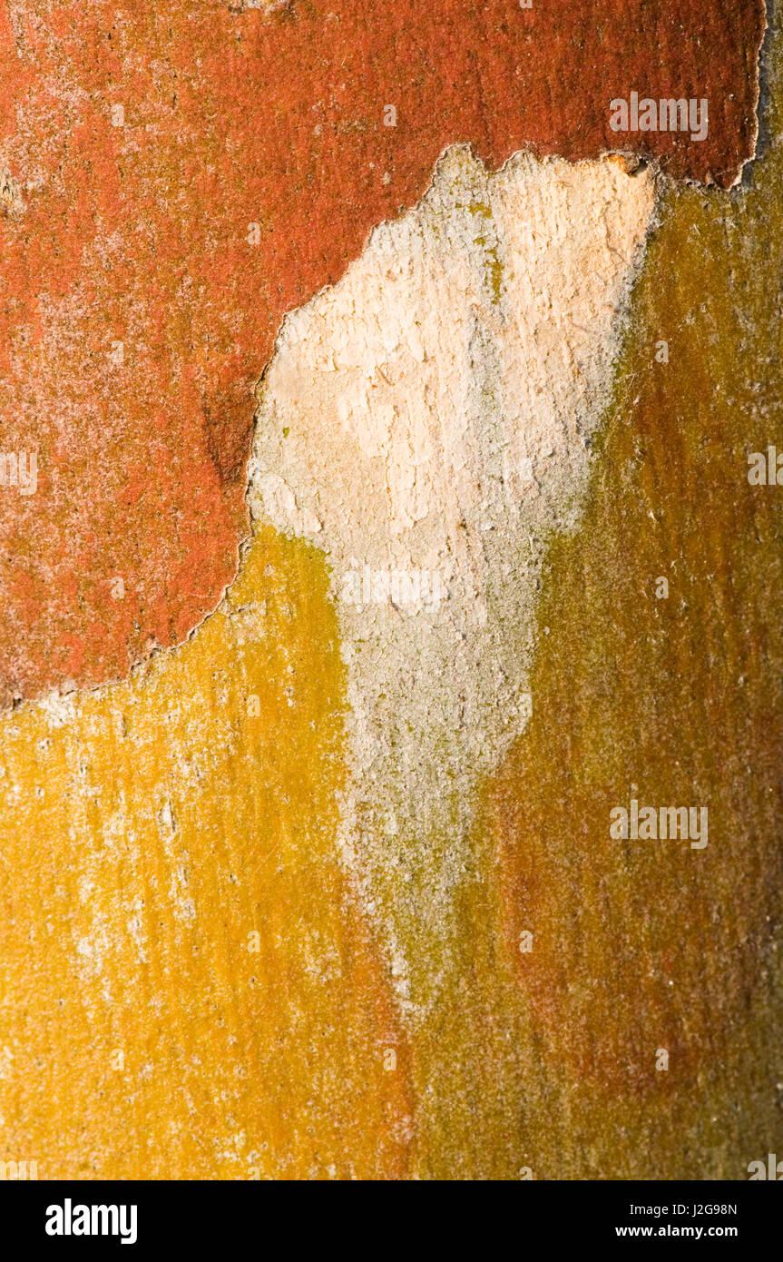 The extraordinary coloured bark of E. deglupta - Stock Image