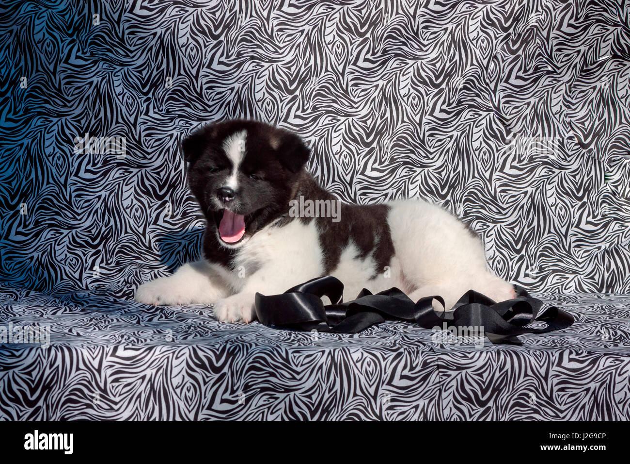 Akita puppy lying on black and white print fabric (MR & PR) - Stock Image