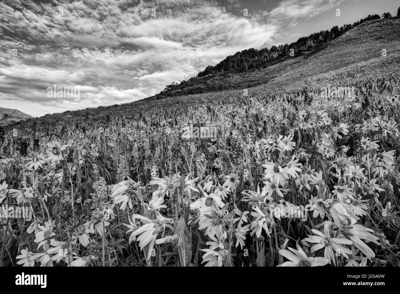 USA, Colorado, Crested Butte. Wildflowers cover hillside. Credit as: Dennis Flaherty / Jaynes Gallery / DanitaDelimont.com - Stock Image