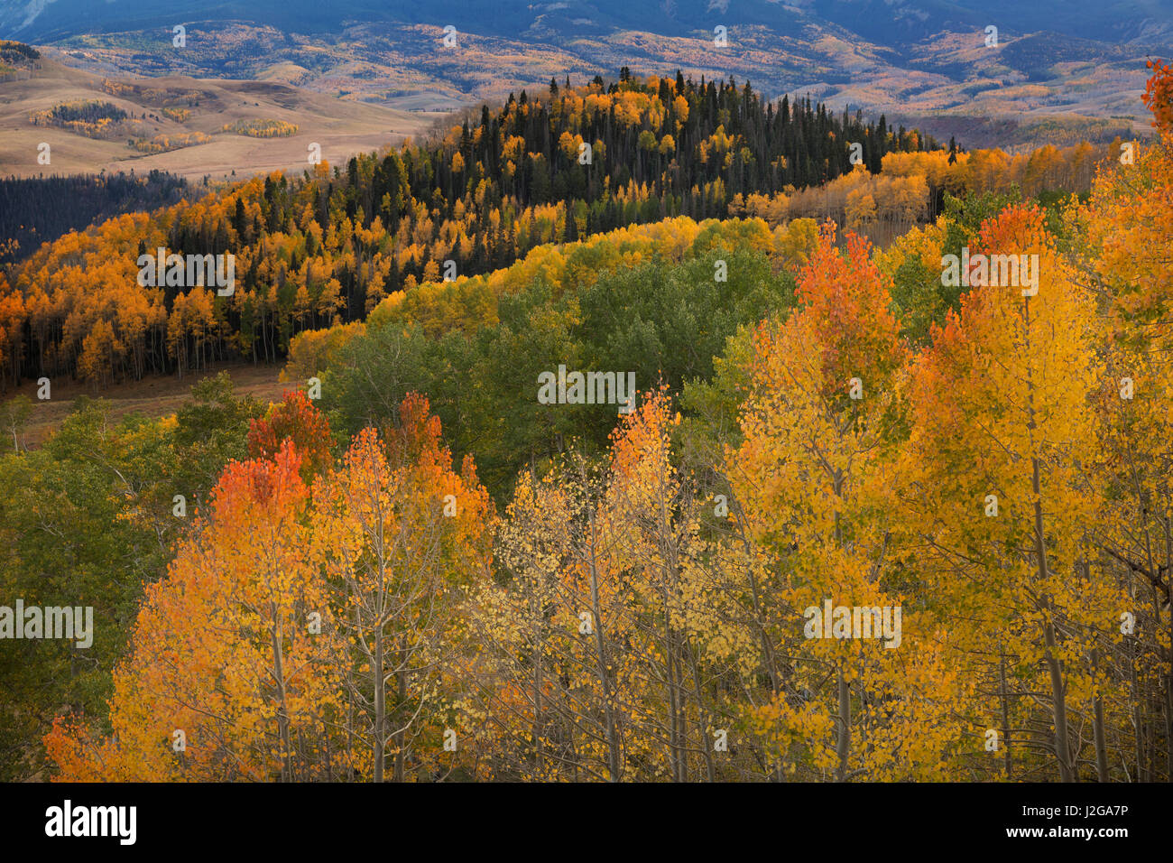 USA, Colorado, Uncompahgre National Forest. Autumn-colored forest. Credit as: Don Grall / Jaynes Gallery / DanitaDelimont.com - Stock Image