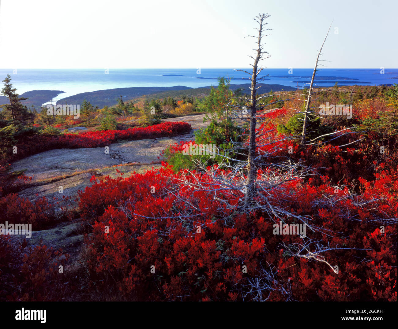 Acadia National Park, Maine. USA. Scarlet foliage of black huckleberry (Gaylussacia baccata) surrounds pine snag - Stock Image