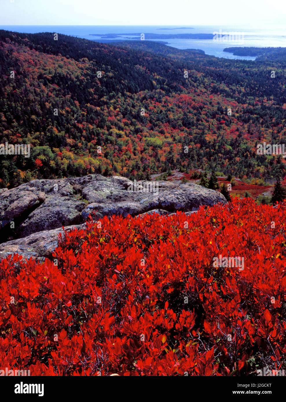 Acadia National Park, Maine. USA. Scarlet foliage of black huckleberry (Gaylussacia baccata) above forest in autumn. - Stock Image