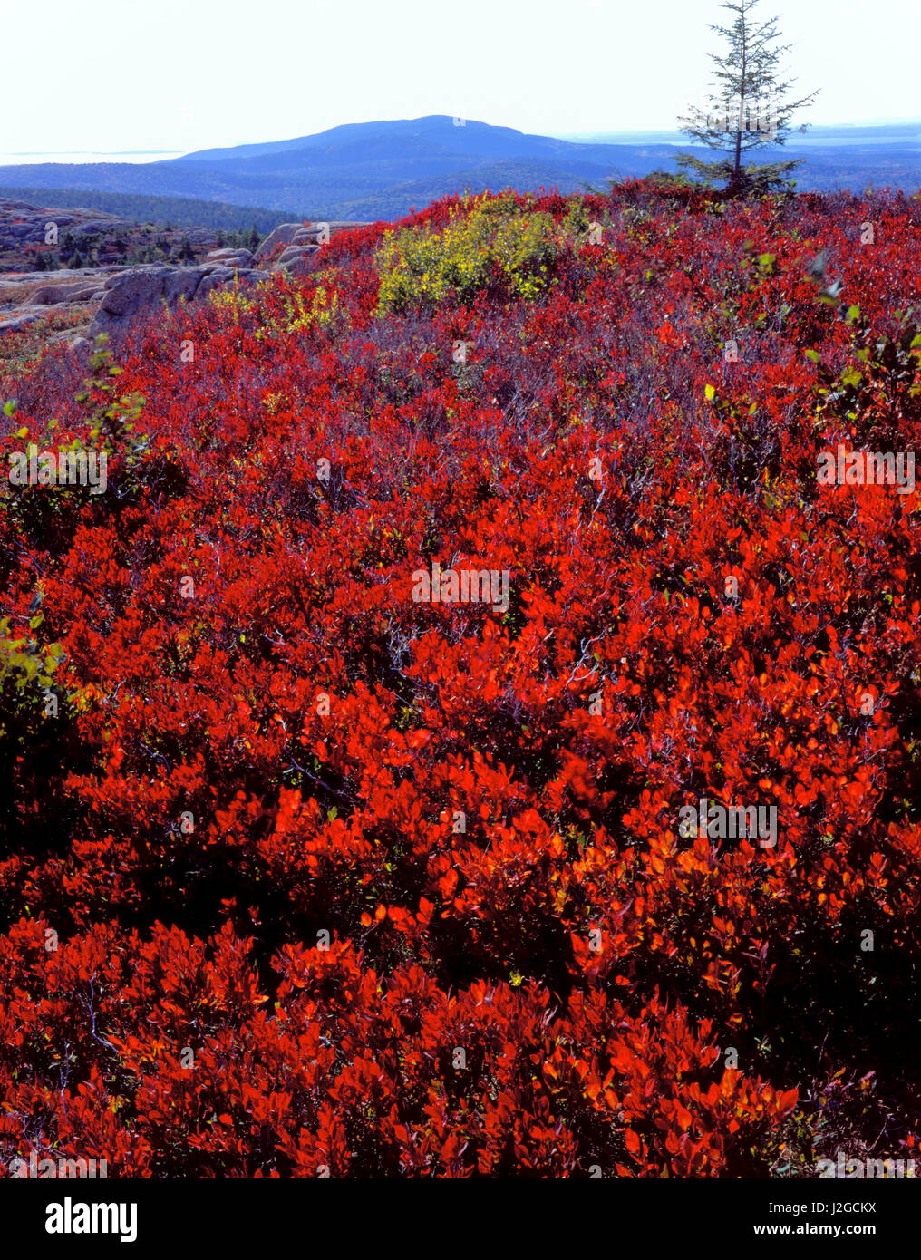 Acadia National Park, Maine. USA. Scarlet foliage of black huckleberry (Gaylussacia baccata) in autumn on Gilmore - Stock Image
