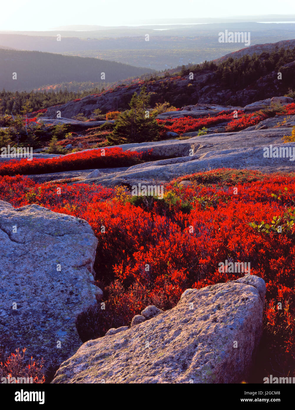Acadia National Park, Maine. USA. Granite bedrock and scarlet foliage of black huckleberry (Gaylussacia baccata) - Stock Image