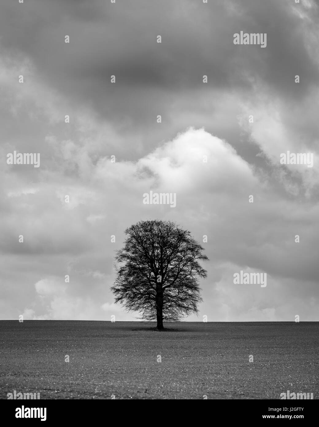 Isolated tree, against a foreboding moody sky in agricultural field in Hampshire - Stock Image