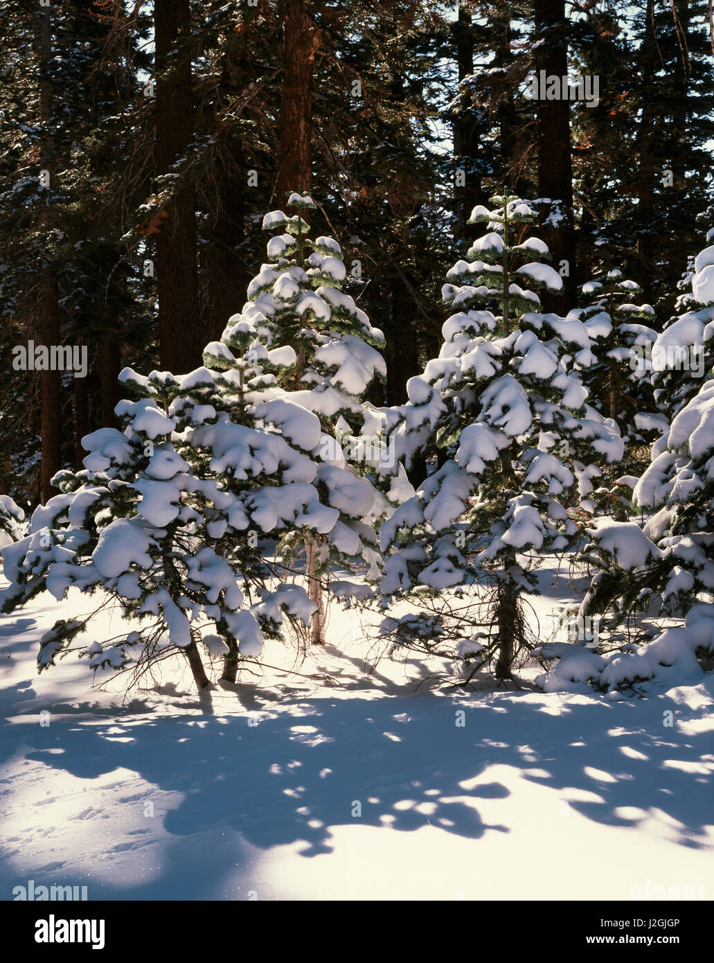 USA, California, Sierra Nevada Mountains, Red Fir Trees (Abies magnifica) and fresh Snow in the High Sierra. (Large - Stock Image