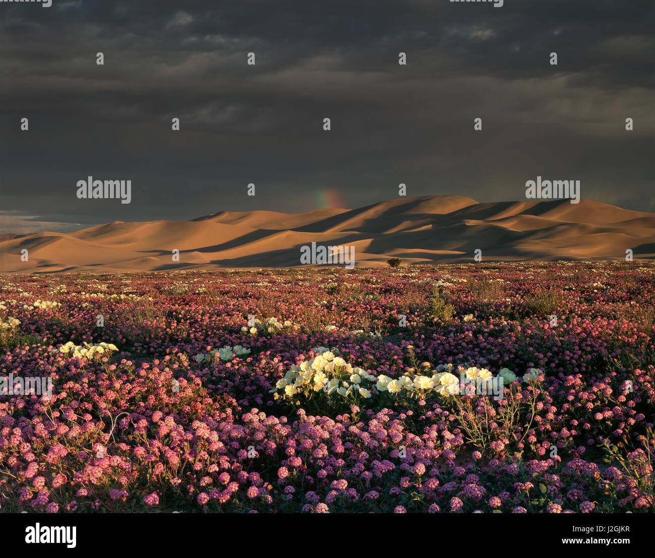 USA, California, Dumont Dunes, A rainbow above the dunes and Sand Verbena Wildflowers (Abronia villosa) and Dune - Stock Image