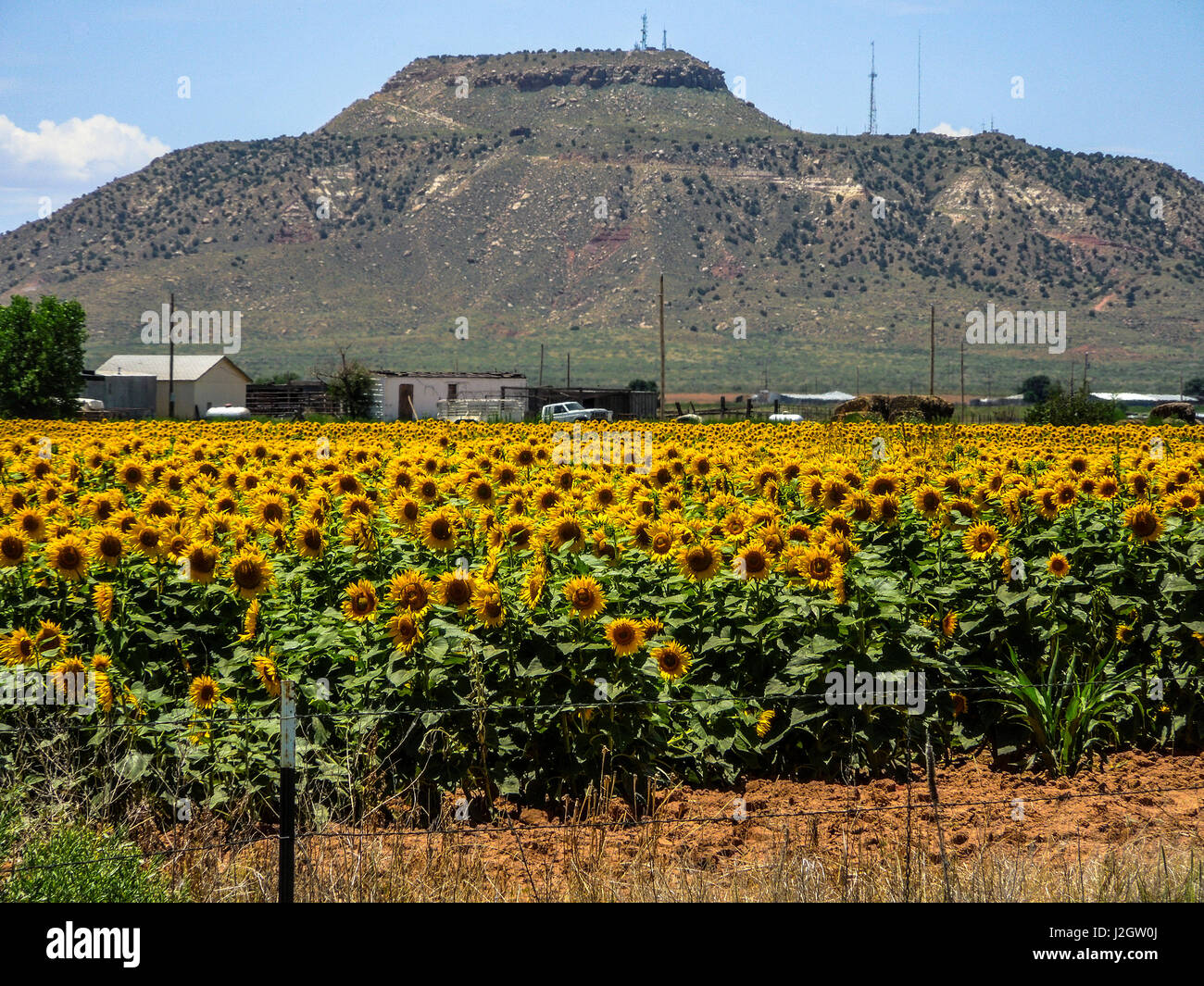 Hobbs, New Mexico. Sunflower field, farms, and foothills in the high desert - Stock Image
