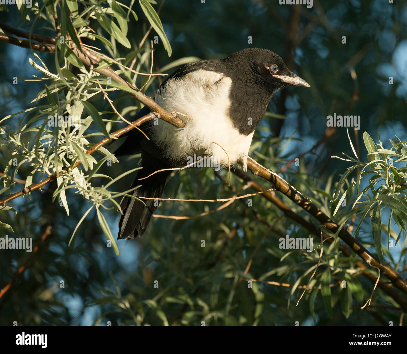 Black-billed Magpie fledgling, Pica hudsonia, New Mexico, wild - Stock Image