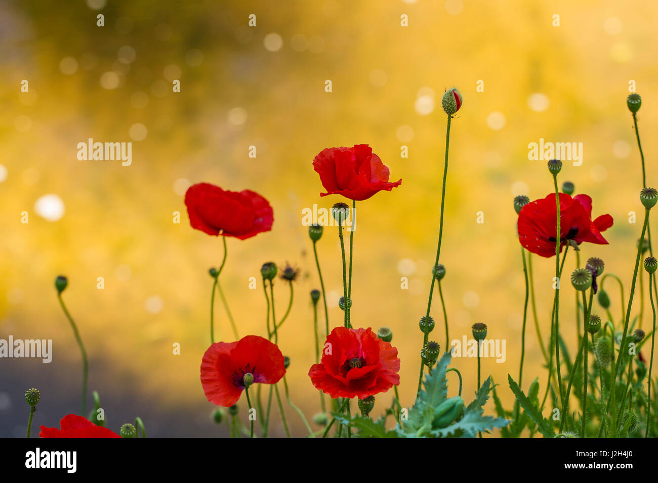 Red poppy flowers for anzac day stock photo 139289080 alamy red poppy flowers for anzac day mightylinksfo