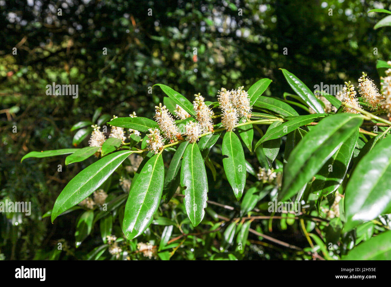 The white Flowers and shiny evergreen leaves of a True Laurel (Laurus nobilis) or English Laurel or Bay is an aromatic - Stock Image