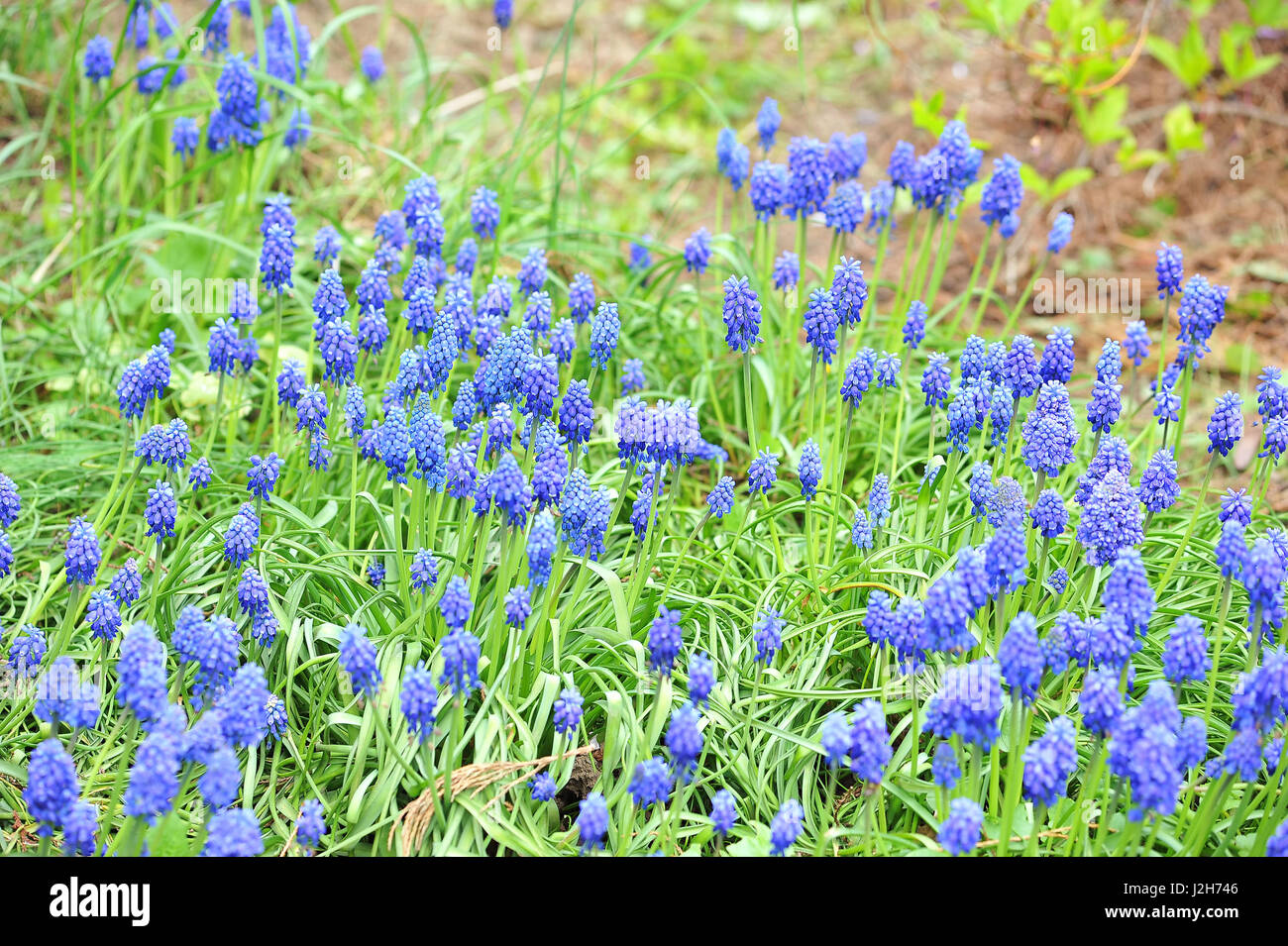 Small Blue Spring Flowers On Sunshine Outdoors Spring Floral Stock