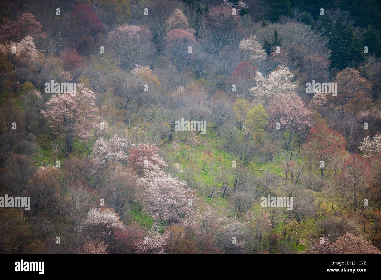 USA, North Carolina. Hardwood trees blooming in spring. Credit as: Don Grall / Jaynes Gallery / DanitaDelimont.com - Stock Image
