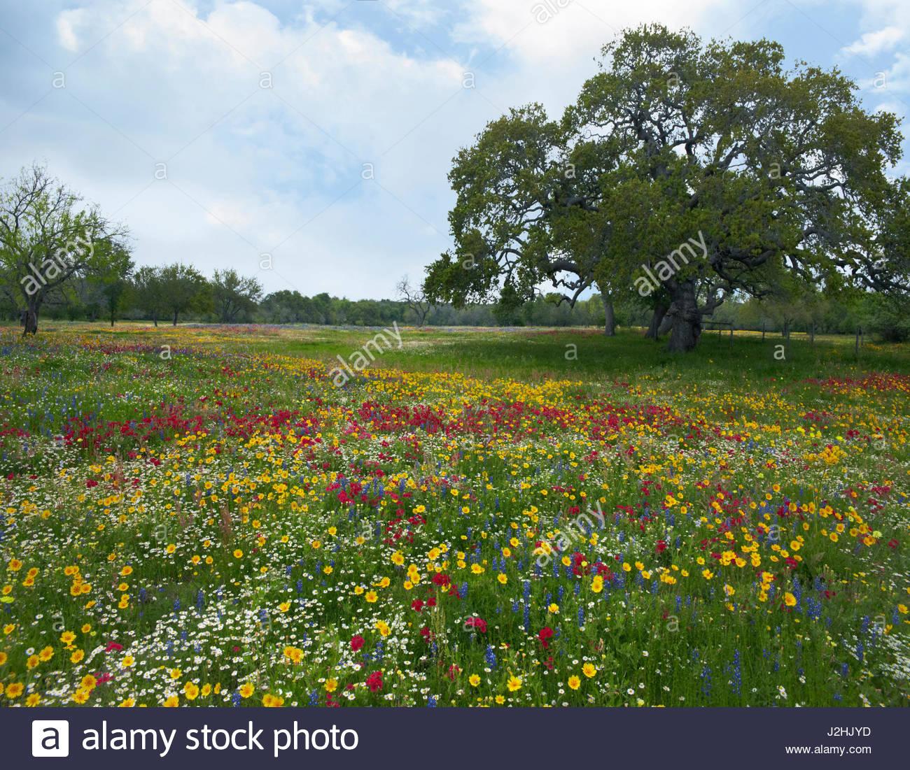 Wildflowers and oak tree near Westhoff (Dewitt County), Texas, USA - Stock Image